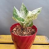 안시리움바리에카타(수입식물)  무늬종 (동일상품으로 배송해요) Anthurium andraeaeanum