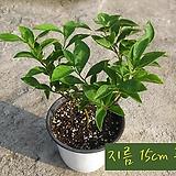 부룬펠시아(Brunfelsia 브론지어/브룬펠지어쟈스민 ) 지름 15cm 중품 허브화분|