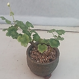도로시나바로제라늄 Geranium/Pelargonium
