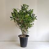 열매치자나무/공기정화식물/반려식물/온누리 꽃농원 