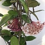 꽃피는호야(꽃대7개) Hoya carnosa