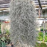 크라운틸란드시아수염-초미세먼지에탁월풍성한대품|Tillandsia