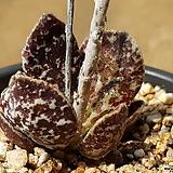 아드레미쳐스 브라이언마킨73|Adromischus Hemisphaericus