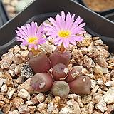 C ectypum ssp (엑티폼 )|