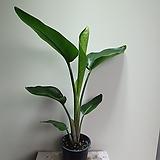 극락조 실속미남형 공기정화식물 507011970|