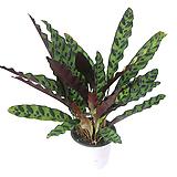 실내공기정화식물 관엽식물 거실화분 화초 인시그니스|
