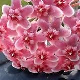 초특가한정 호야 꽃대있음 [50개한정]|Hoya carnosa