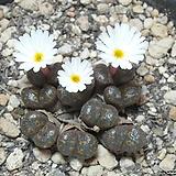 119-Conophytum pellucidum pardicolor; Kweekfontein II 펠루시덤 파르디칼라 9두 Echeveria Lucy