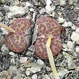 120-Conophytum pellucidum ex J. Schneider 펠루시덤2두 Echeveria Lucy