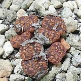 130-Conophytum pellucidum 펠루시덤 스테르크스트롬7두 Echeveria Lucy