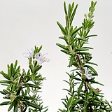 꽃피는 클리핑로즈마리 허브 로즈마리|Rosemary