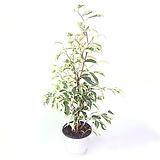 칼라벤자민 실내공기정화식물 관엽식물 실내화초|