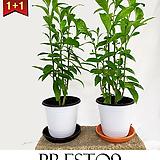 프레스토나인 벌레퇴치 공기정화 식물 1 + 1 야래향 M_특가할인|