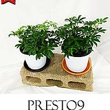 프레스토나인 공기정화 식물 1+1 홍콩야자 M_특가할인|