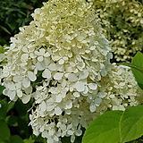 수국 목수국 라임라이트(100-120cm)|Hydrangea macrophylla