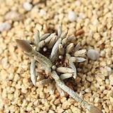 알스토니(적화) 290822|Avonia quinaria ssp Alstonii