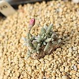알스토니 적화 700822|Avonia quinaria ssp Alstonii