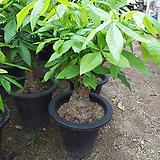 바키라나무-두꺼운외목초미세먼지탁월|