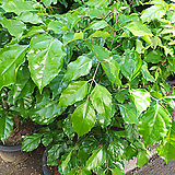 녹보수멋진외목가지-초미세먼지탁월한 공기정화|happy tree