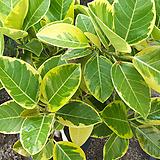 골드뱅갈고무나무-멋진원목가지|Ficus elastica