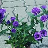 아스타국화꽃 월동|