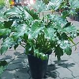 셀렘 공기정화 식물