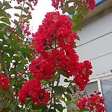 배롱나무(목백일홍)다이나마이트 1포트(15cm)
