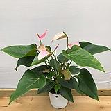 안시리움|Anthurium andraeaeanum