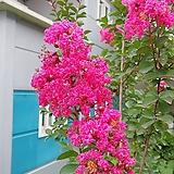 배롱나무(목백일홍)핑크벨로 1포트(15cm)|