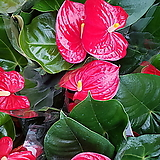 ♥Anthurium andraeaeanum♥공기정화식물