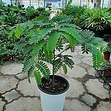 외목대타마린드/꽃과열매를볼수있는 수입식물 