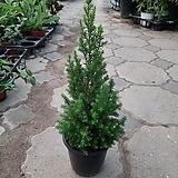 편백나무/공기정화식물/높이40센치 