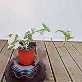 싱고니움 싱고늄 신품종 가-126 수입식물|