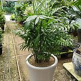 테이블야자-1급공기정화식물 분갈이|