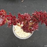 로즈법사철화 0823|Aeonium Schwartzkopf