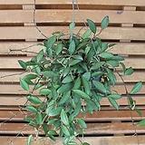 호야(쿠밍이) Hoya carnosa
