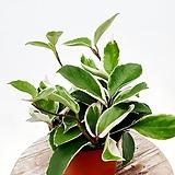 국민식물 호야 공기정화식물 실내식물 넝쿨식물|Hoya carnosa