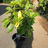 뱅갈고무나무 ( 동일품배송)