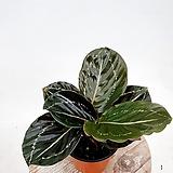칼라데아로제오픽타 칼라데아 실내식물 음지식물 공기정화식물|