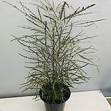 아랄리아 (잎무늬가 독특해요 동일품배송)|