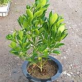 유주나무/귤나무/열매(50-60cm)|