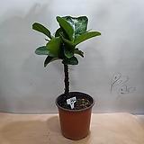떡갈고무나무  외목대  B2사진상품발송|Ficus elastica