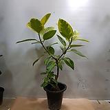 뱅갈고무나무   동일상품발송|Ficus elastica