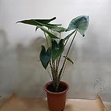 알로카시아 제브리나  2촉 수입식물|Alocasia