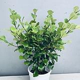 스윗하트고무나무(동일품배송)|Ficus elastica