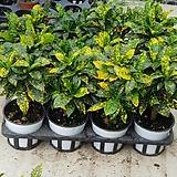 크로톤  점박이크로톤|Codiaeum Variegatum Blume Var Hookerianum