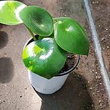 글로리아페페  물방울페페  페페로미아 공기정화식물