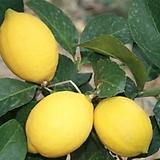 대박세일,레몬나무,중대품1592-외목대,동일품배송,높이 73cm|