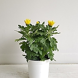 국화대국 3대/공기정화식물/반려식물/온누리 꽃농원|