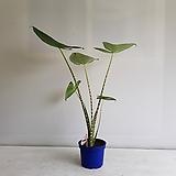 제브리나/공기정화식물/반려식물/온누리 꽃농원|